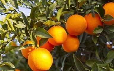 男子吃20斤橘子不吐籽,紧急手术后捡回条命