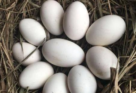 孕妇吃鹅蛋的四个好处 鹅蛋最佳吃法注意事项