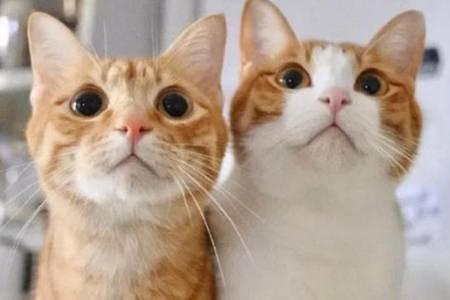 橘猫什么品种是土猫吗  宠物店橘猫多少钱一只