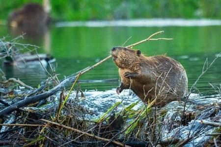 河狸是一种什么动物  河狸的生态作用及危害是什么