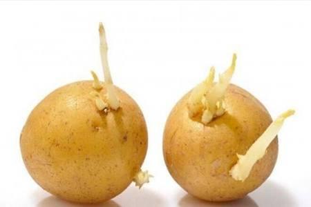 土豆发芽了还能吃吗 发了芽的土豆有毒吗