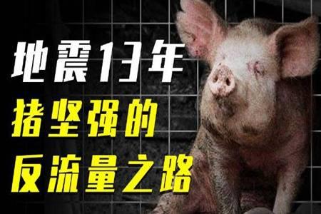 14岁猪坚强去世 疑因年老衰竭往生遗体已被冰冻